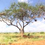 acacia tree C.C. Monö